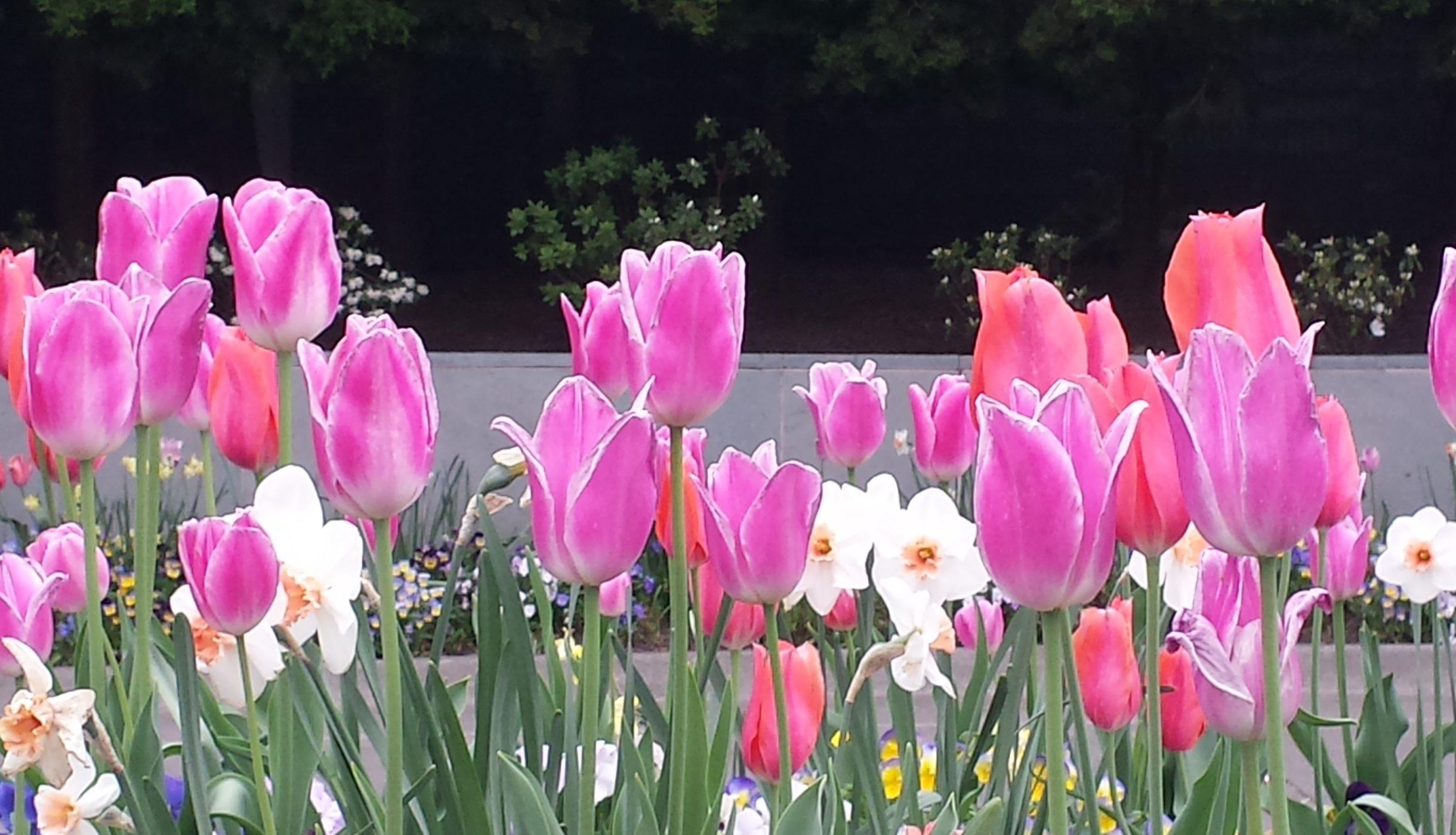 Tulips in Portland